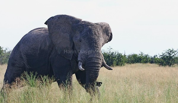 African Elephant not Happy