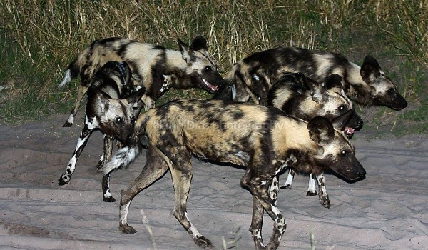 Wild Dogs Hunting at Night