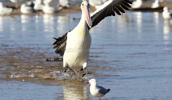 One winged Pelican