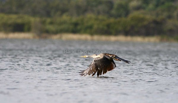 Darter In flight
