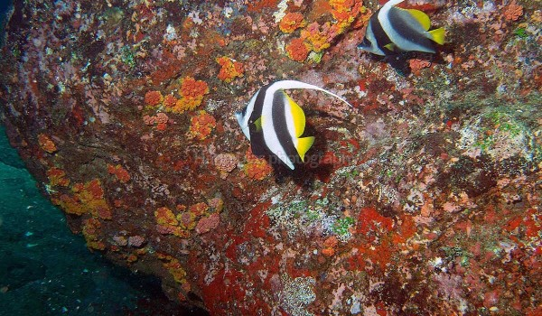 Butterfly Fish 1