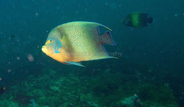 Butterfly fish 4