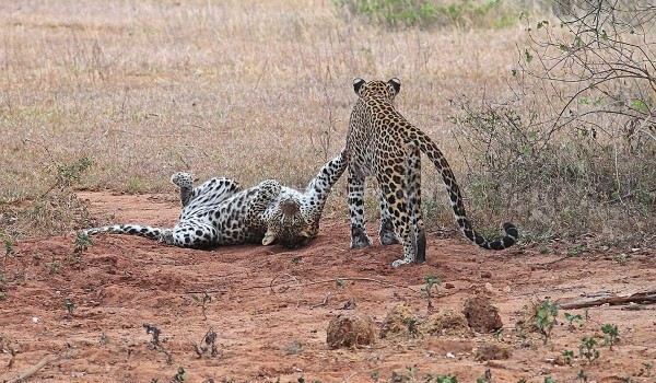 Young Leopards at play, Yala