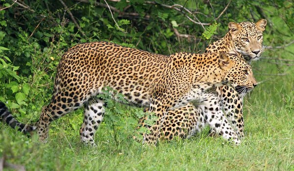 Leopards in yala