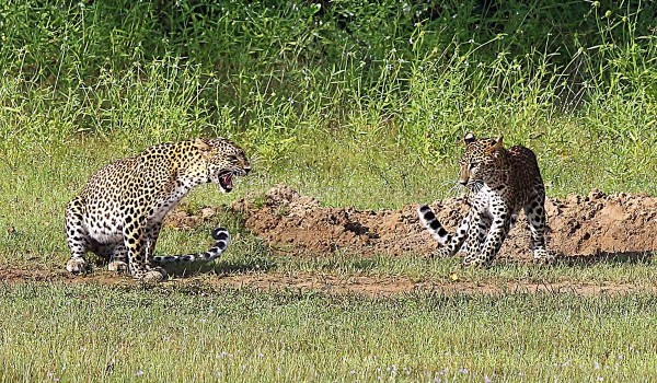 Leopards in Wilpattu
