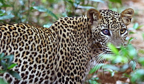 Leopard with corneal ulcer