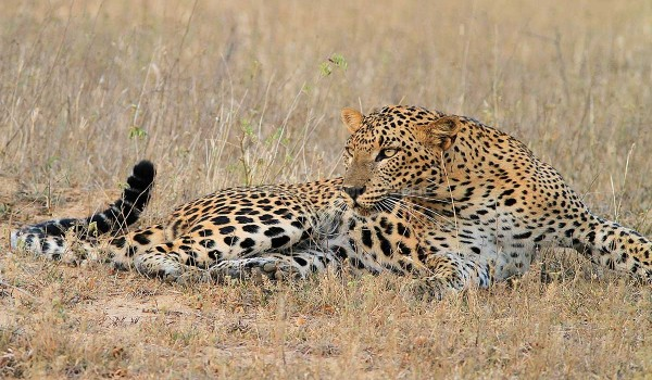 Leopard about to stalk his prey Yala