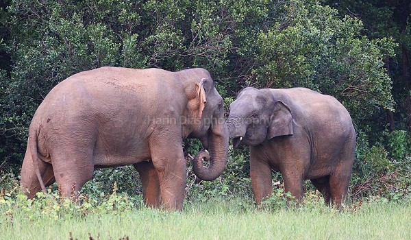 Elephants in Habarana