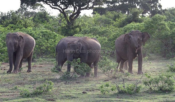 Elephants at play in yala