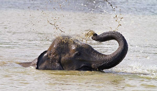 Elephant Bathing in yala