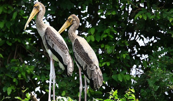 Painted storks 1