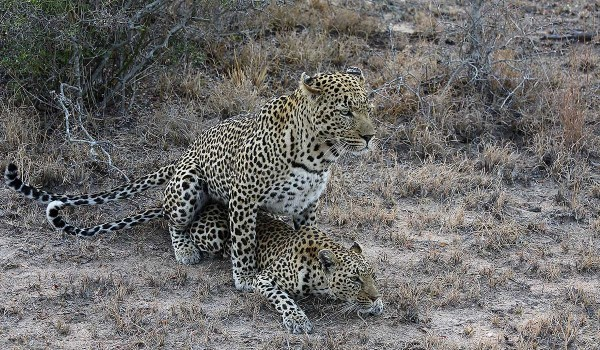 Leopards Mating 01