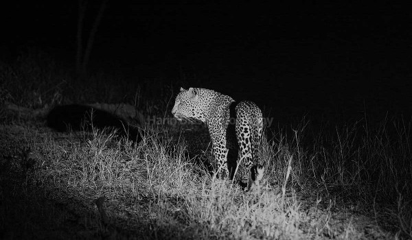 Leopard under spotlight