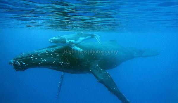 Humpback whale and calf 01