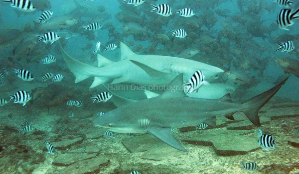 Bull and lemon Sharks