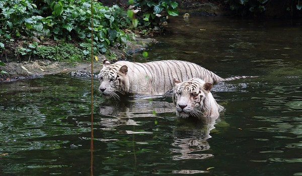 White Tigers 01
