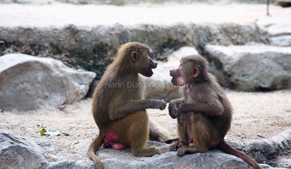 Baboons 03