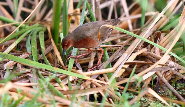 Ruddy Breasted Crake