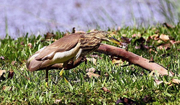 Pond Heron wih Fish