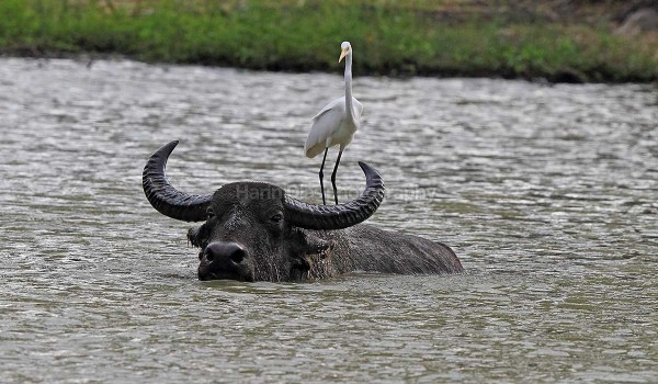 Egret on Buffalo
