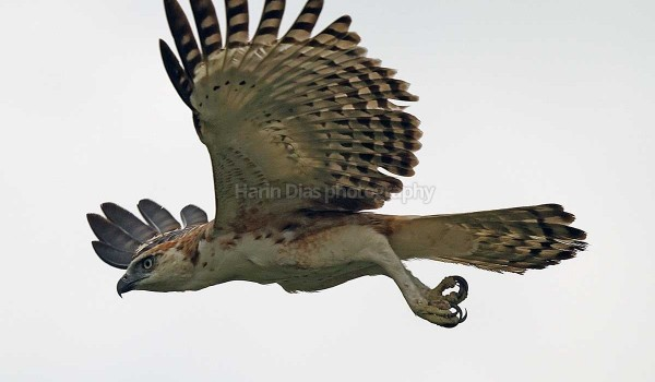 Crested hawk Eagle 02