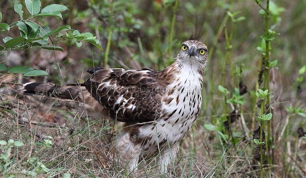 Crested Hawk Eagle 01