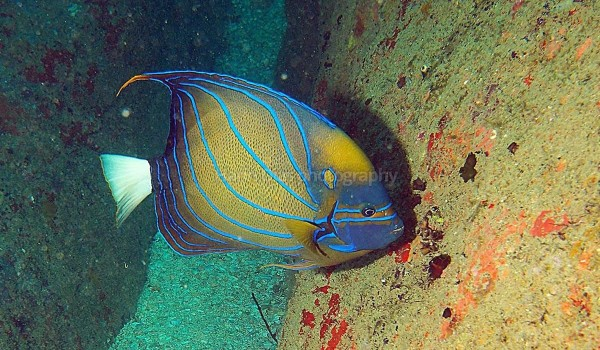 Butterfly fish 2