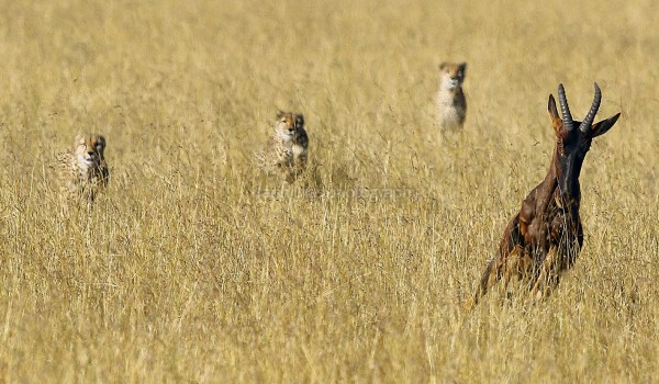 The chase begins....hunting a Wildebeest