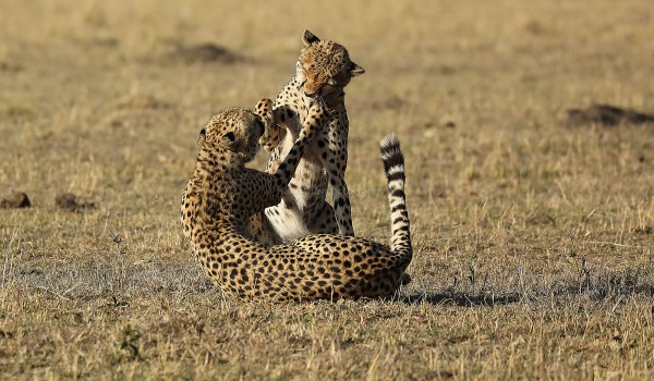 Leopards at play  - Mara