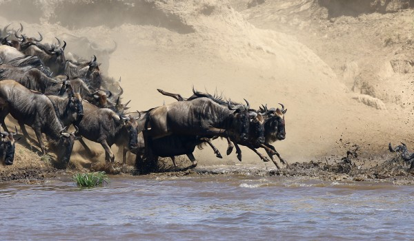 In Unison...Wildebeest Migration