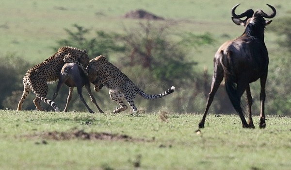 Wildebeest mother looks on helplessly.....