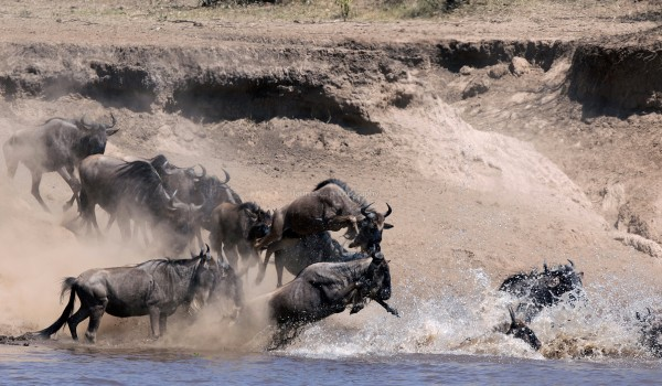 Wildebeest migration....Mara