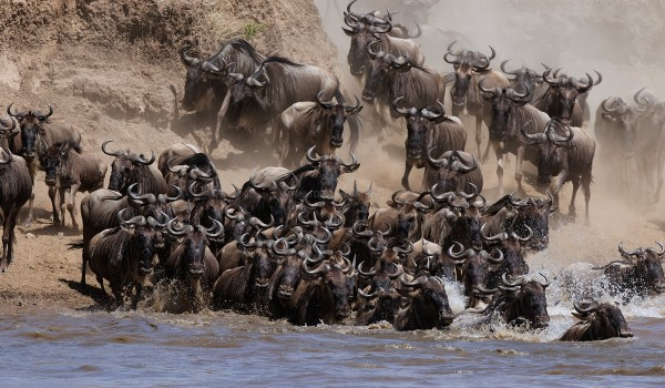 Wildebeest Migration - Mara